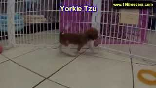Yorkie Tzu, Puppies, For, Sale, In, Jacksonville,florida, Fl,tallahassee,gainesville,
