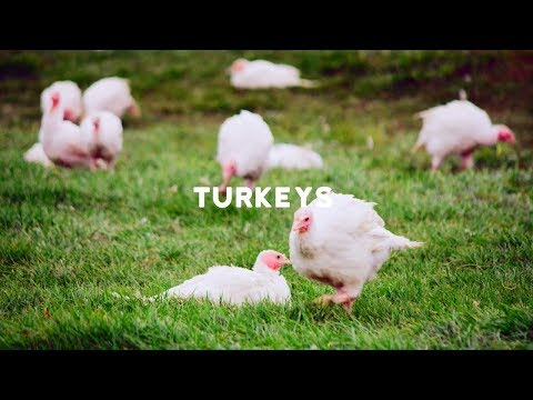 RSPCA Approved Farming: Turkeys