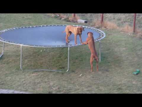 Rhodesian ridgeback Bora have fun in the trampoline