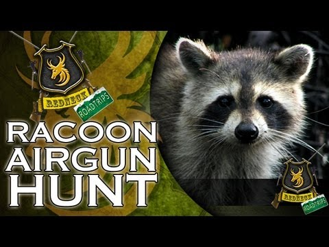 Extreme Airgun Hunting: Racoon Hunt With A Daystate Wolverine .303