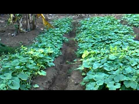 Organic Ground Nut Manure NSS Vegetable Garden Mp4