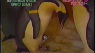 やっぱり可愛いね!ペンギンの赤ちゃん!