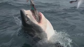 The Megalodon Shark Has Finally Been Caught By a Group of Scientists...