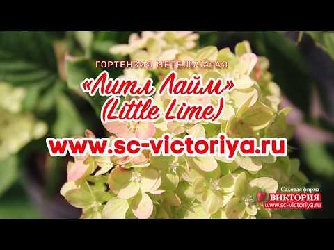 """Гортензия метельчатая """"Литл Лайм"""" (Little Lime)"""