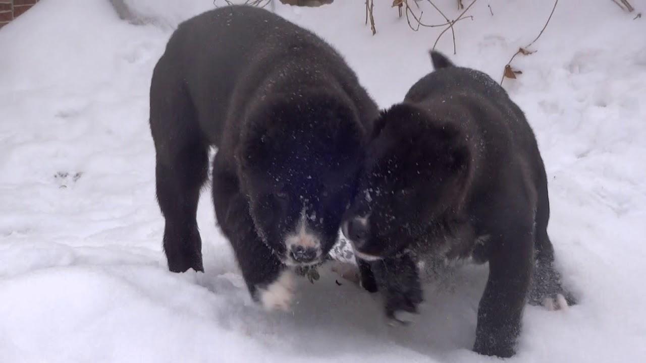 Очень красивые щенки цвергпинчера! (Беларусь, Минск) - YouTube