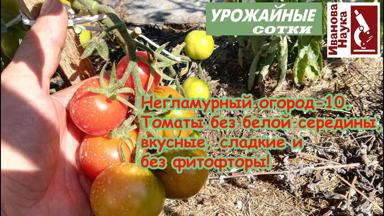 Негламурный огород 10. Вкусные сладкие томаты без фитофторы практически бесплатно и без затрат!