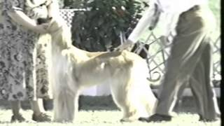 1999 Ahca National Specialty (2/5) - Dog Classes
