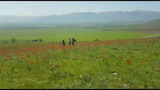 В ЮКО проходит фестиваль тюльпанов