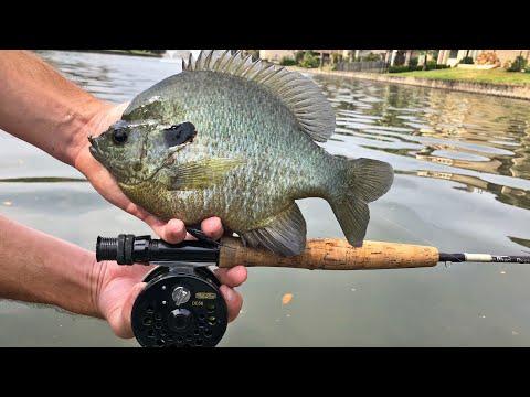 Fly Fishing For Huge Bluegill!