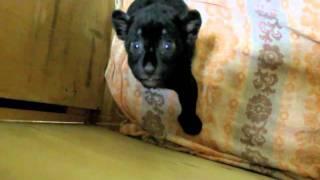 Зоопарк: рык 1-месячного ягуара Наоми