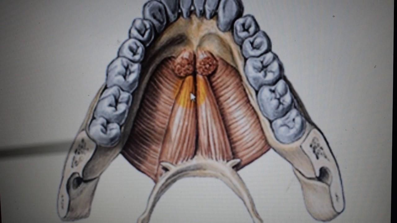 Músculos suprahioideos e infrahioideos - YouTube