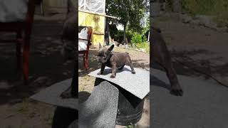 Французский бульдог Голубой окрас https://www.youtube.com/channel/UChtBb330ZRibRH9bcHEGlhw