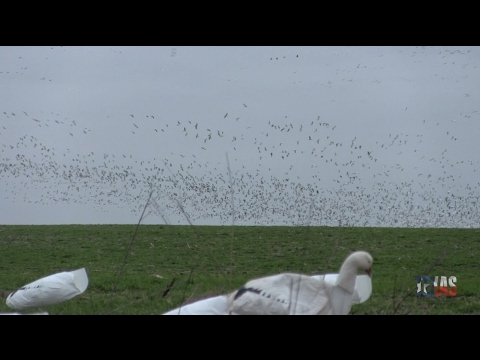 Snow Geese Hunting In Northeast Texas