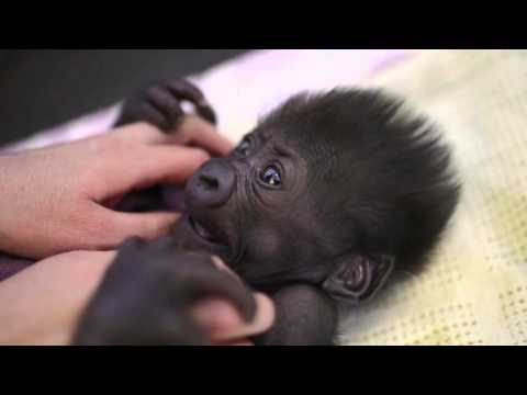 Bristol Zoo's baby Western lowland gorilla is now six weeks old and developing well