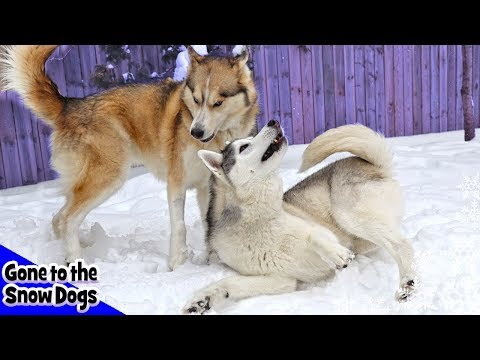 Huskies Playing in the Snow | Slow Motion Dogs
