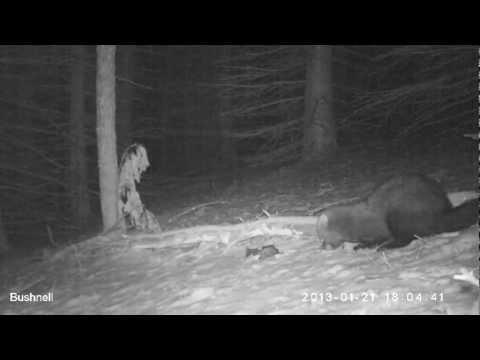 Fisher Cat Weasel Pennsylvania - Bushnell Trophy Cam Trail, Game, Wildlife, Deer, Camera
