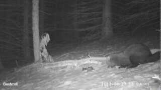 Fisher Cat Weasel Pennsylvania - Bushnell Trophy Cam Trail, Game, Wildlife, Deer, Camera