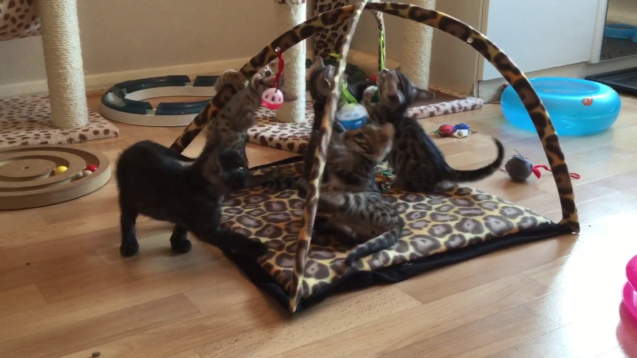 Kisses and Sambuca's Bengal kittens 7 weeks old - YouTube