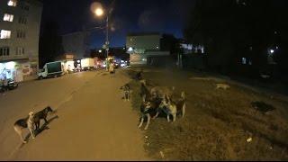 Свора собак в центре жилых районов Ставрополя