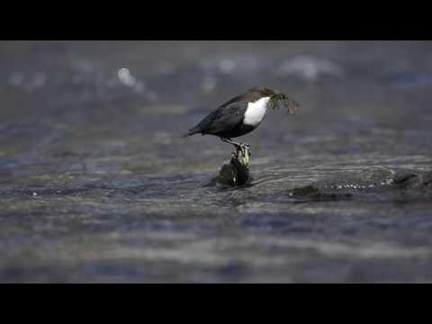 Die Wasseramsel an einem Nebenfluss der Mosel