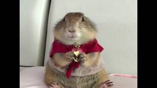 Dapper Well Dressed Groundhog/Gopher Eating a Piece of Cheese = Cute Overload