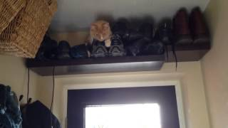 This video is not available. 7 month old cat climbing along coat rack and ending up high in the shoe storage shelf