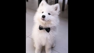 Cute & Funny Samoyeds Video Compilation 4K