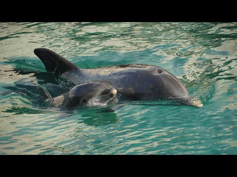 Beautiful Boy Dolphin Born At Dolphin Quest Bermuda