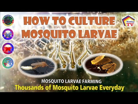 How To Culture Mosquito Larvae!