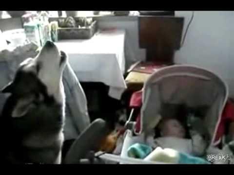 Chú chó kỳ lạ có khả năng hát ru em ngủ - vuihi.com