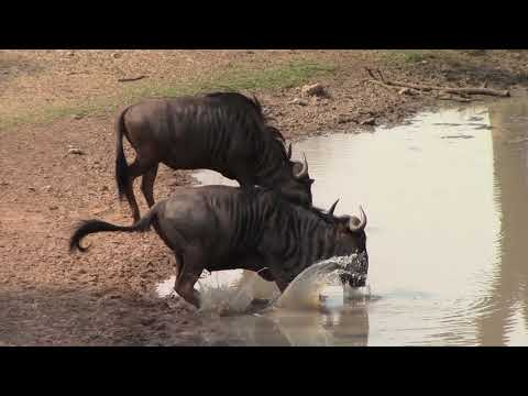 Bow Hunting Wildebeest