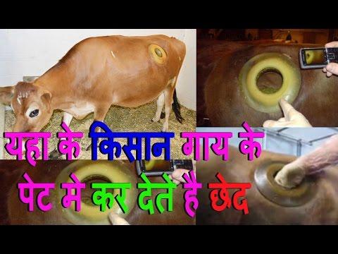 किसान गाय के पेट मे कर देते है छेद | वजह जान बढ़ जाएगी आप के मन्न मे इन किसानो के लिए इज़्ज़्त
