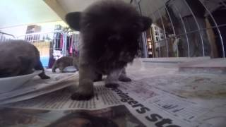 Cairn Terrier Puppies, 4 Weeks Old, For Sale