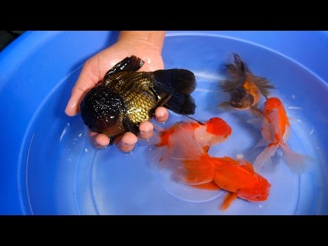 Giant Oranda for your Goldfish Tank & Pond - 1/2