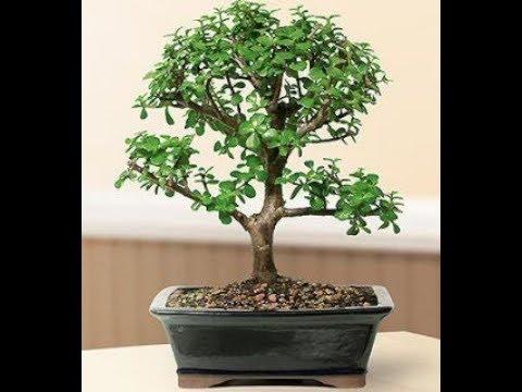 Денежное дерево (Толстянка). Формирование кроны и полезные рекоммендации
