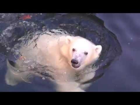 Nora explores a new part of the polar bear habitat