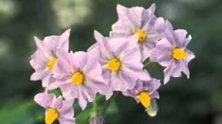 Korsuorkesteri - Perunan kukkiessa