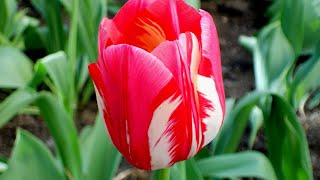 Relax - Nature - Flowers - Music - Цветы - Природа - Музыка - Релаксация