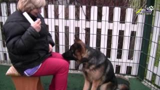 Кликер, учим брать палочку щенка немецкой овчарки