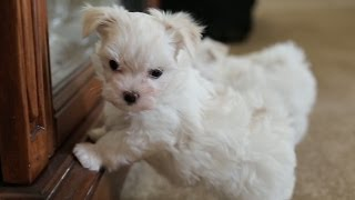 Maltese Puppy Barks At His Own Reflection