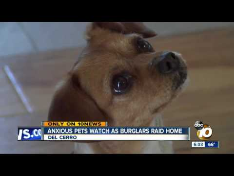Anxious pets watch as burglars raid home