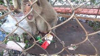 Chọc khỉ (troll monkey)