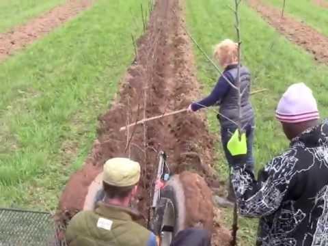 Plantation de pommiers 2013 au Verger Belliveau