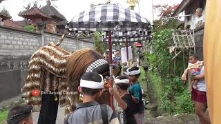 BARONG MACAN NGELAWANG TRADISI MENJELANG HARI RAYA