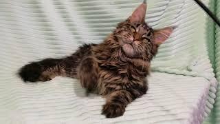 Чёрный мраморный (n22) кот Мейн-кун, 6 месяцев