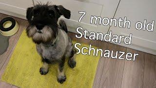 7 Month Old Standard Schnauzer | Burt Updates #6
