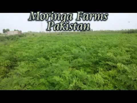 Moringa Farms Pakistan 03017118737  efazalelahi@gmail com