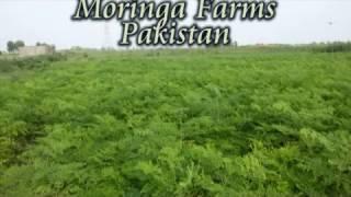 Moringa Farms Pakistan  03348433356 efazalelahi@gmail com