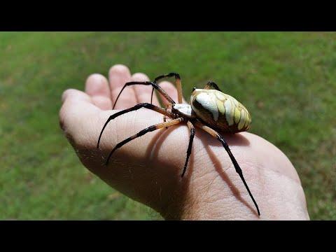 The Yellow Garden Spider Argiope Aurantia Owlcation
