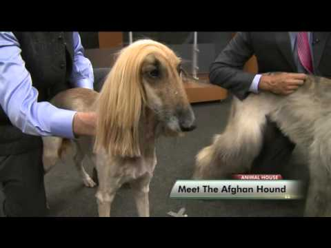 Meet the Afghan Hound